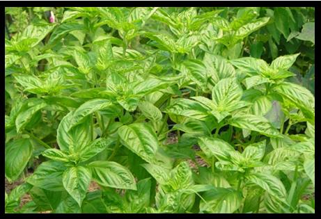 Lá húng quế đã trở nên nổi danh với công dụng đặc trị mùi hôi do viêm nhiễm vùng kín