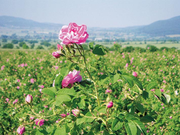 Thung lũng hoa hồng tại Bulgaria